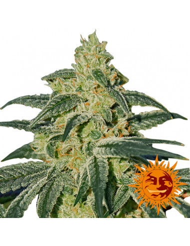 Afghan Hash Plant reg. Barney's