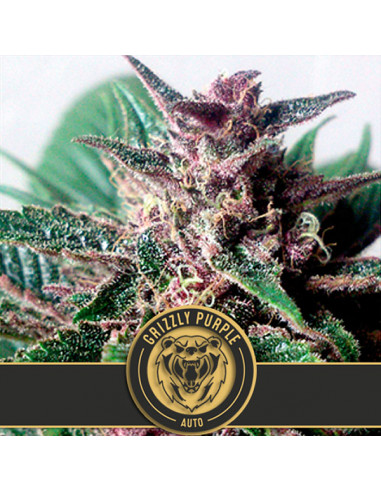Auto Grizzly Purple Fem. Blimburn Seeds