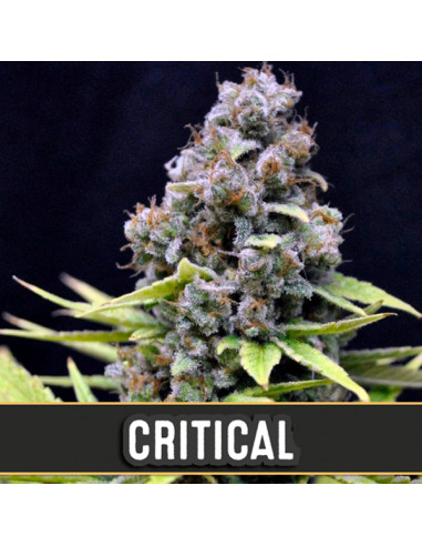 Automatic Critical Fem. Blimburn Seeds