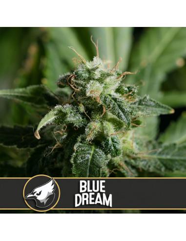 Blue Dream Fem. Blimburn Seeds