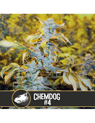 Chemdog Fem. Blimburn Seeds