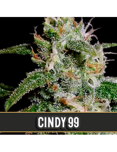 Cindy 99 Fem. Blimburn Seeds