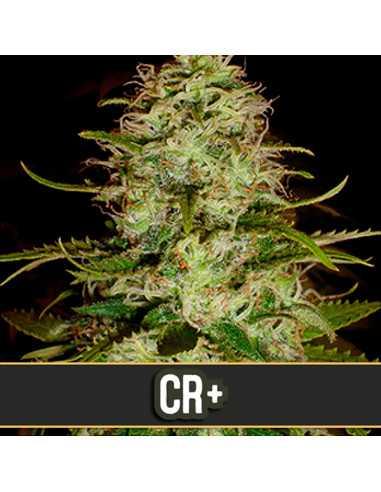 CR + Fem. Blimburn Seeds