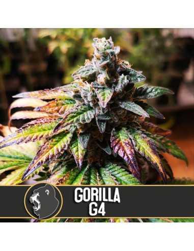 Gorilla G4 Fem. Blimburn Seeds