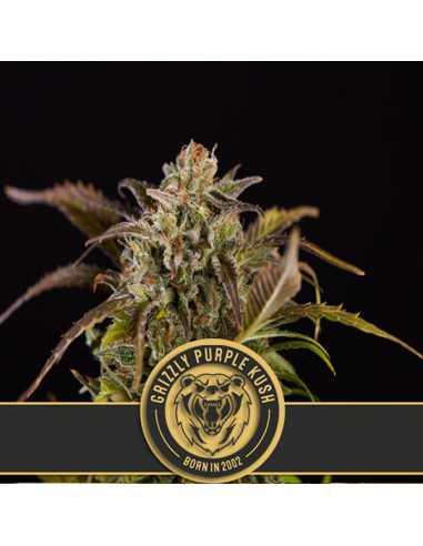 Grizzly Purple Kush Fem. Blimburn Seeds