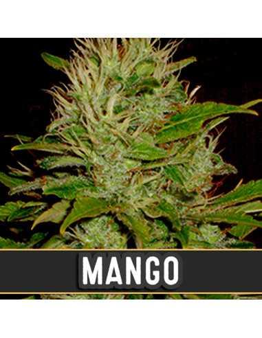 Mango Fem. Blimburn Seeds