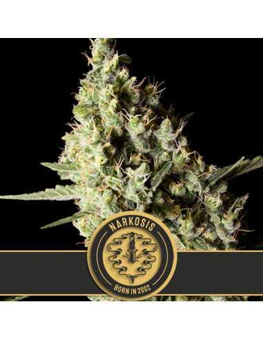 Narkosis Fem. Blimburn Seeds