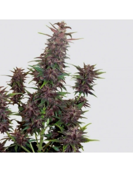 Auto Buddha Purple Kush Fem. Buddha Seeds