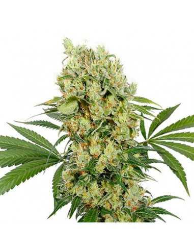 Medikit CBD Blister Fem. Buddha Seeds