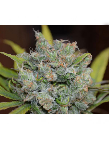 Sweet N Sour Widow reg. CBD Crew Seeds