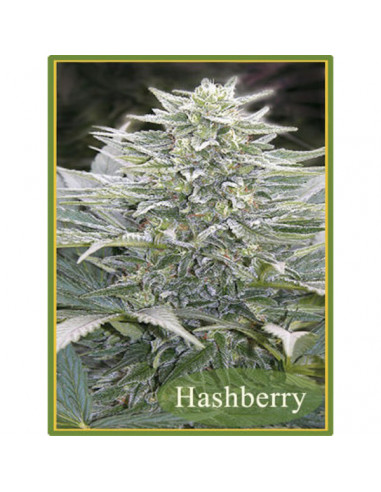 HashBerry reg. Mandala Seeds