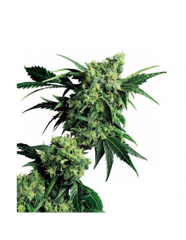 Mr. Nice G 13 X Hash Plant reg. Sensi Seeds