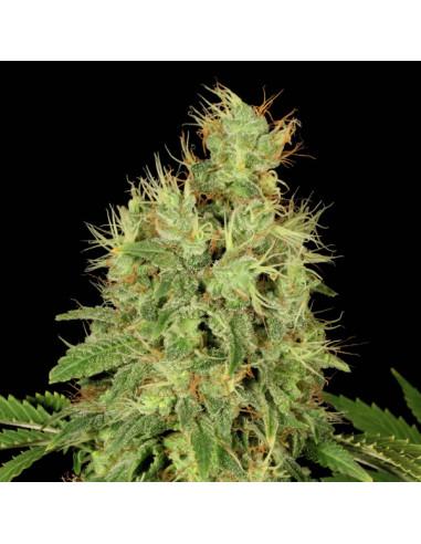 CBD Chronic Fem. Serious Seeds