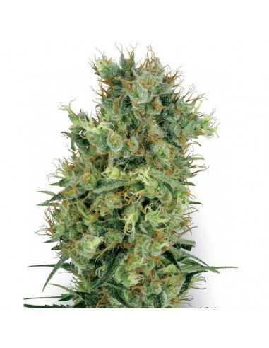 Californian Orange Bud reg. White Label