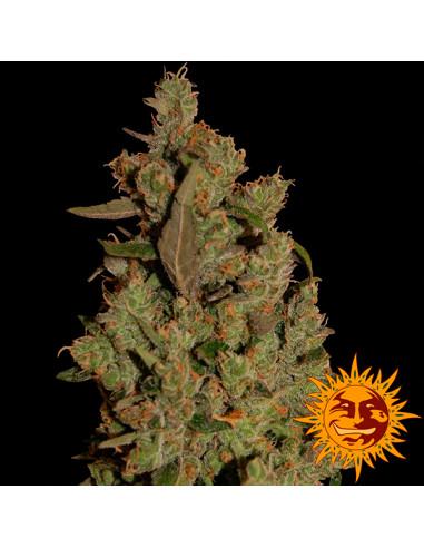 CBD Critical Cure Fem. Barney's