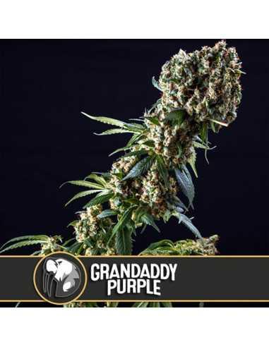 Grandaddy Purple Fem. Blimburn Seeds