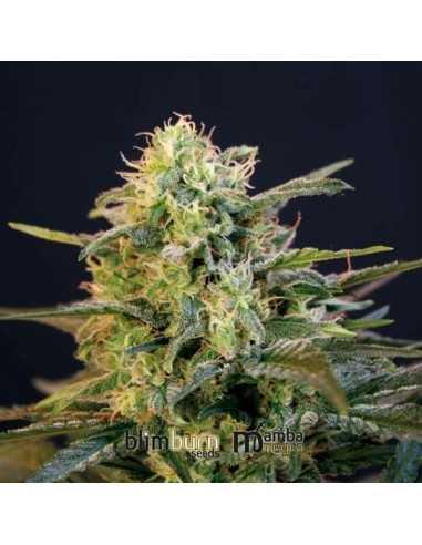 Mamba Negra Fem. Blimburn Seeds