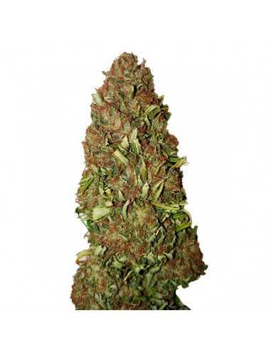 Harlequin CBD+ Fem. CBD Buds