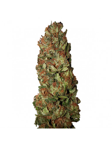 Lemon Pie CBD+ Fem. CBD Buds