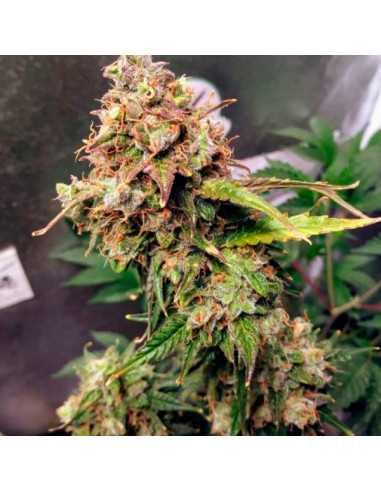 Auto NL Fem. Female Seeds