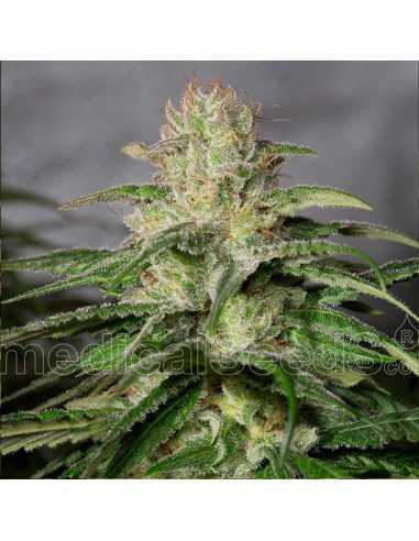 OG Kush CBD Fem. Medical Seeds