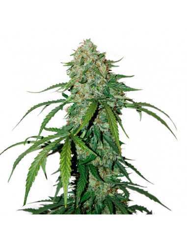 Auto CBD 1-1 Silver Lime Haze Fem. Seedstockers