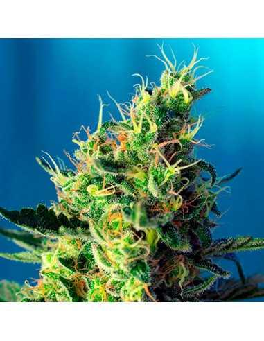 Sweet Pure CBD Fem. Sweet Seeds